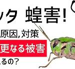 TTMつよし_サバクトビバッタ